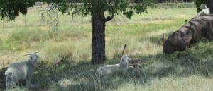 goats (640x276)